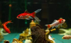 Gehypnotiseerd door een vissenkom. Foto: Creative Commons